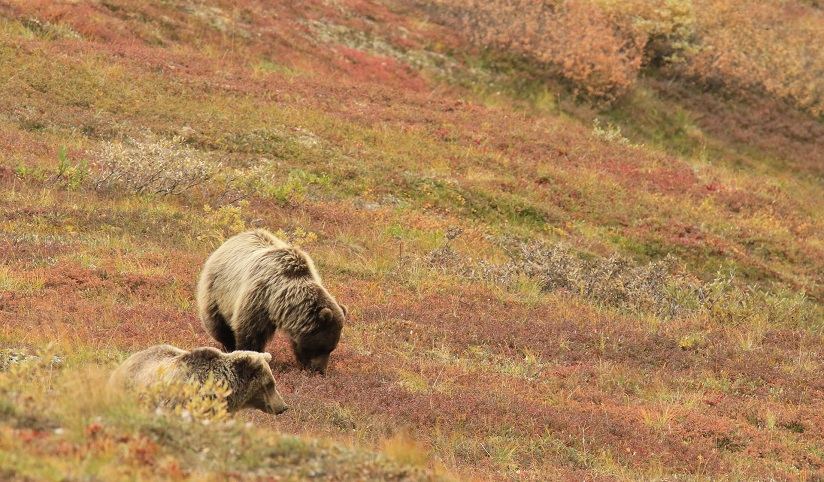 Two brown bears on a hillside grazing